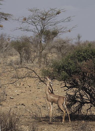 kenya-antelopes-037.jpg