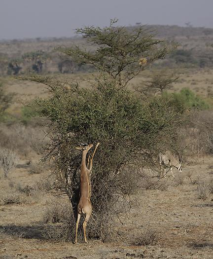 kenya-antelopes-039.jpg
