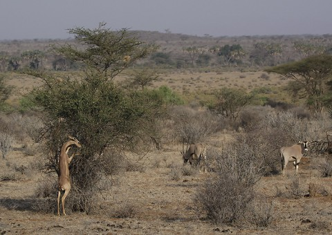 kenya-antelopes-040.jpg