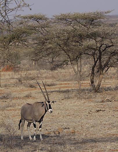 kenya-antelopes-043.jpg