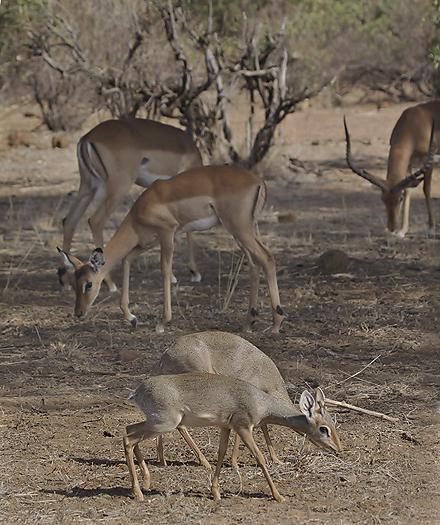 kenya-antelopes-044.jpg