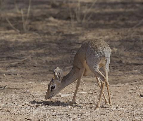 kenya-antelopes-045.jpg