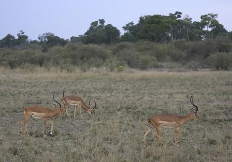 kenya-antelopes-047.jpg