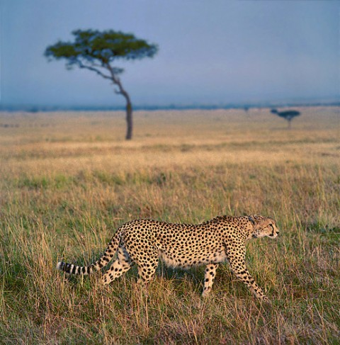 kenya_bigcats21.jpg