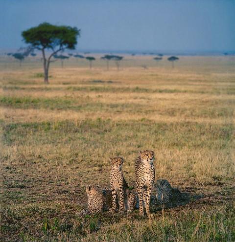 kenya_bigcats22.jpg