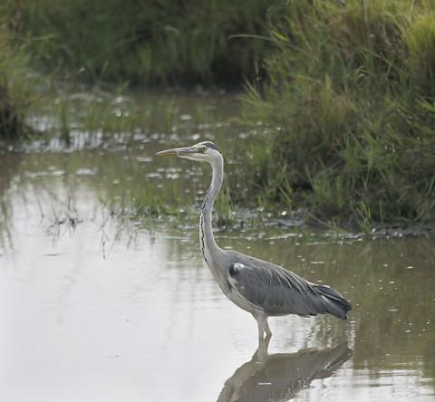 Kenya-HeronsStorks-021.jpg