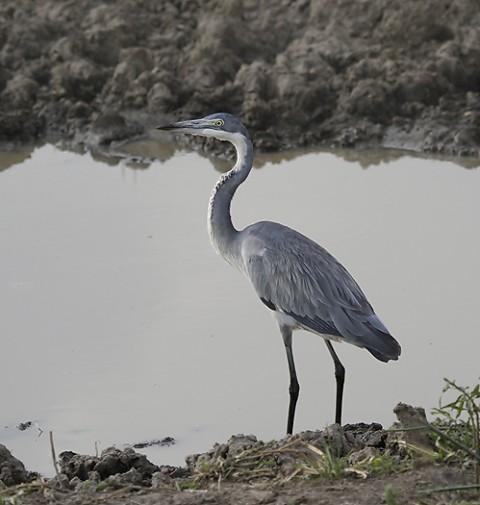 Kenya-HeronsStorks-022.jpg