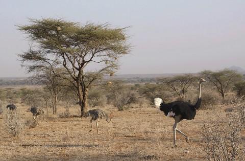 Kenya-ostrichs-021.jpg