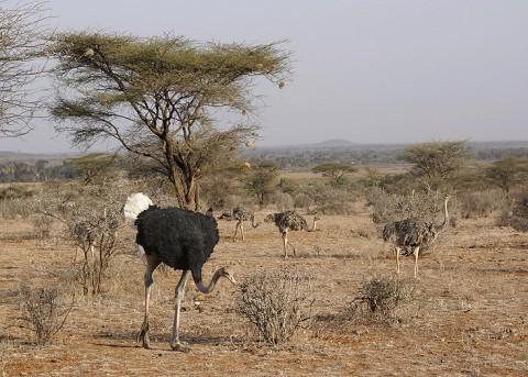 Kenya-ostrichs-022.jpg