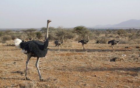 Kenya-ostrichs-023.jpg