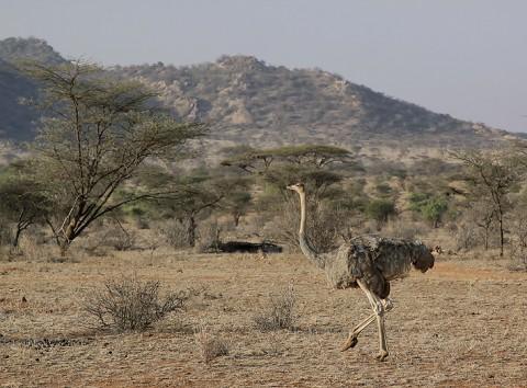 Kenya-ostrichs-024.jpg