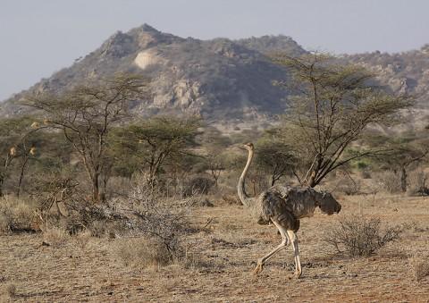 Kenya-ostrichs-025.jpg