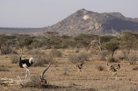 Kenya-ostrichs-026.jpg