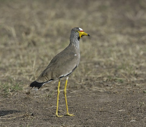 Kenya-otherbirds-059.jpg