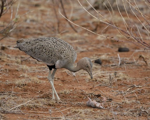 Kenya-otherbirds-061.jpg