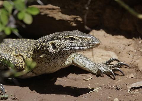 Kenya-reptiles-031.jpg