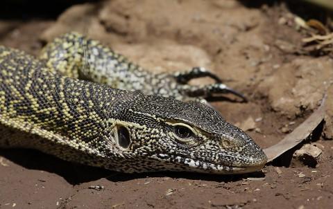 Kenya-reptiles-032.jpg