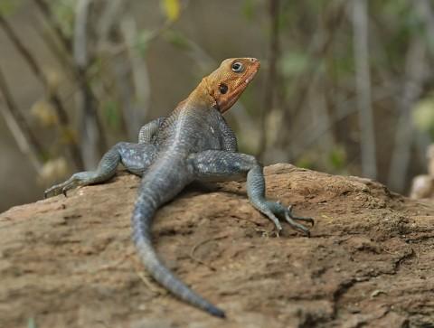 Kenya-reptiles-040.jpg