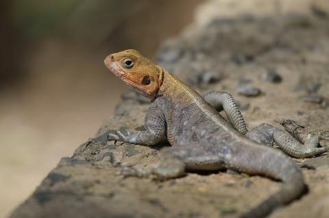 Kenya-reptiles-041.jpg