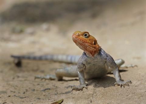 Kenya-reptiles-043.jpg