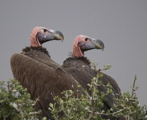 kenya-vultures-021.jpg