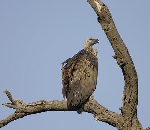 kenya-vultures-023.jpg
