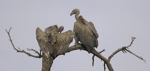 kenya-vultures-024.jpg