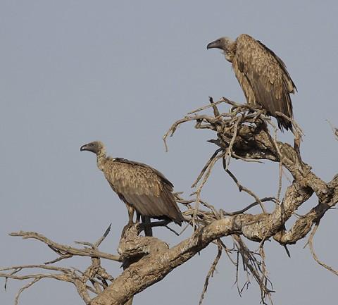 kenya-vultures-025.jpg