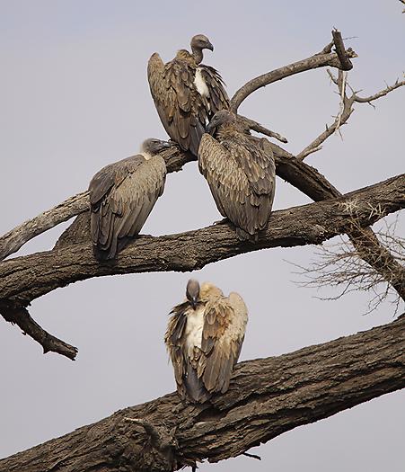 kenya-vultures-028.jpg