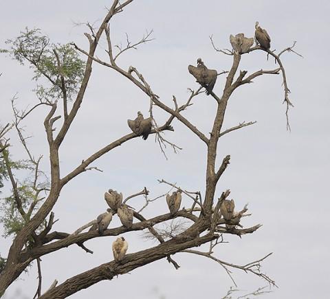 kenya-vultures-029.jpg