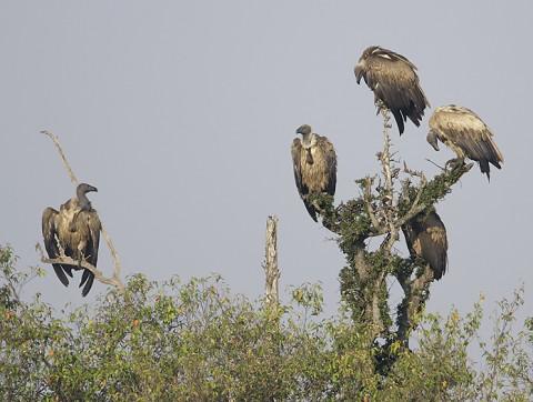 kenya-vultures-031.jpg