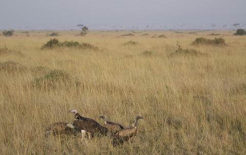 kenya-vultures-032.jpg