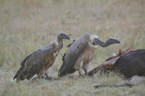kenya-vultures-033.jpg