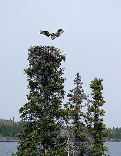 osprey6.jpg