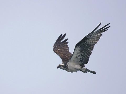 osprey91.jpg