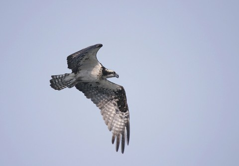 osprey92.jpg
