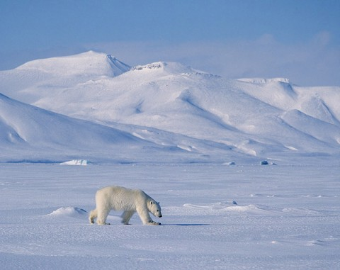 polarbear6.jpg