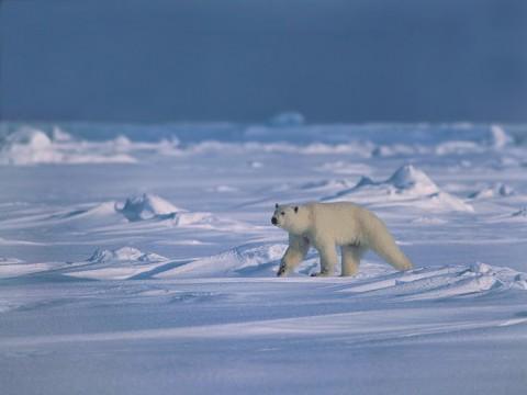 polarbear91.jpg