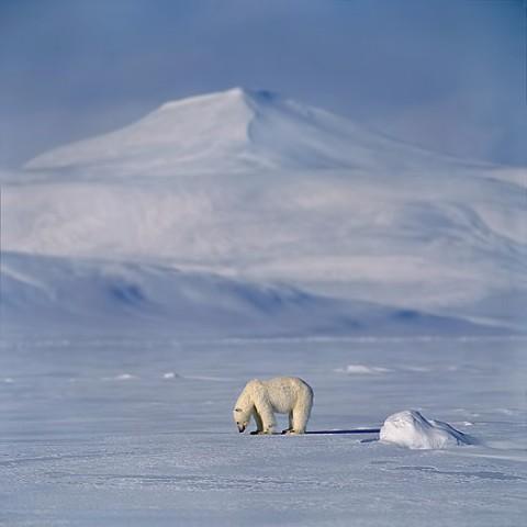 polarbear96.jpg