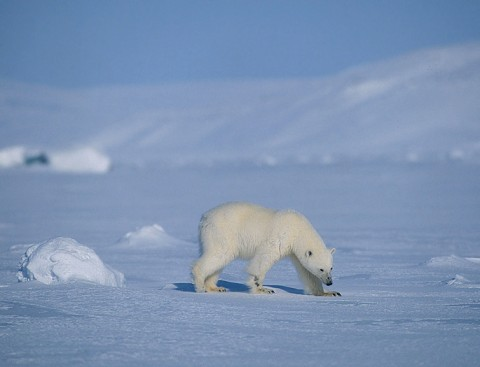polarbear996.jpg