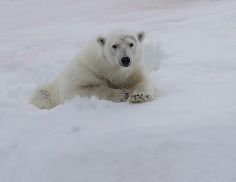 polarbear998d.jpg