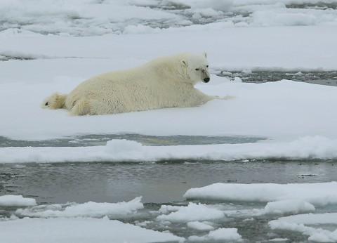 polarbear998h.jpg
