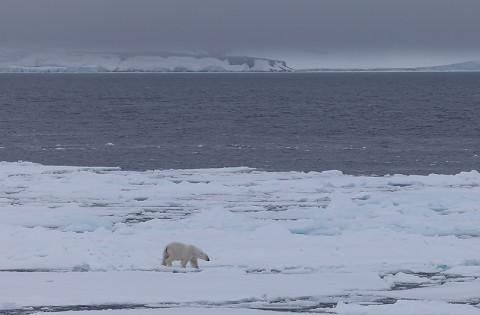 polarbear998i.jpg