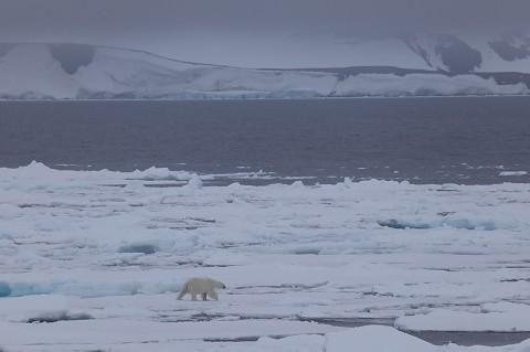 polarbear998j.jpg