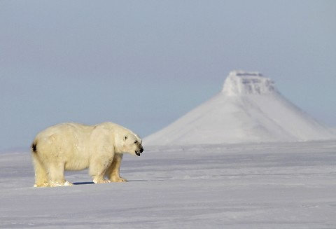 polarbear998n.jpg
