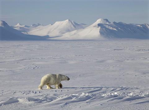 polarbear998o.jpg
