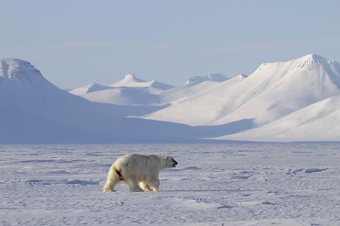 polarbear998r.jpg
