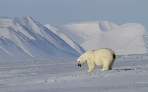 polarbear998t.jpg