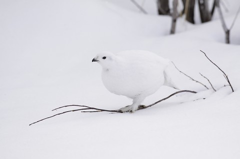 willowptarmigan01.jpg