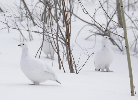 willowptarmigan02.jpg
